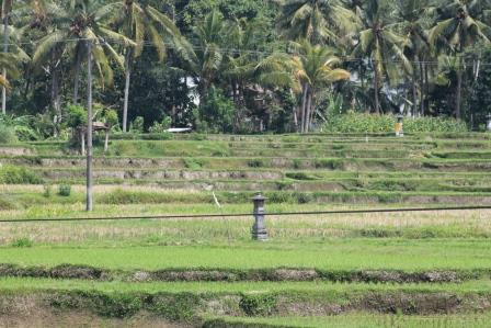 Reisterrassen in Ubud (Bali)