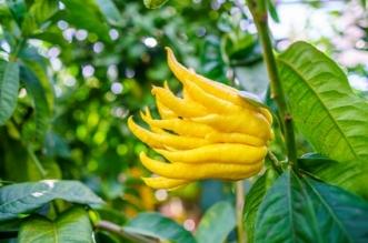 Die Zitronatzitrone Buddhas Hand: Ästhetisch, aromatisch, mystisch